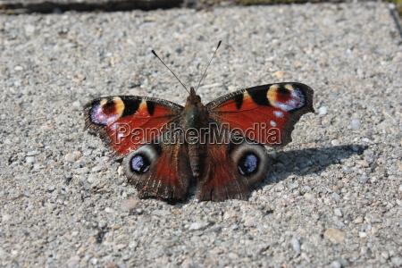 asphalt with peacock eye