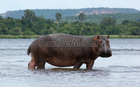 hippo in africa