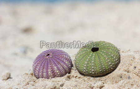 two sea urchin