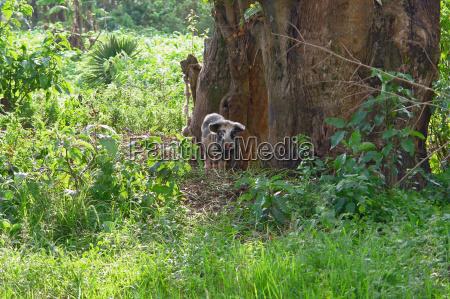 small pig in uganda