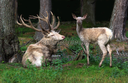 animal animals young animal horns deer
