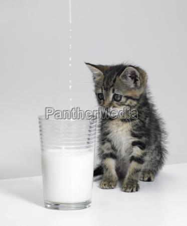 kitten waiting for milk