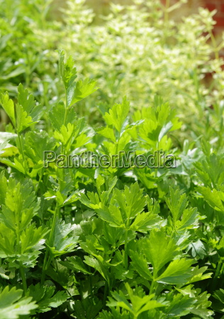 parsley petroselinum crispum