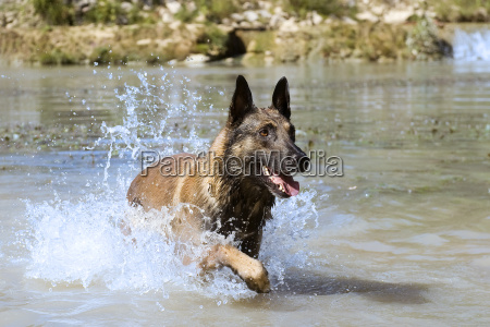 malinois in the river