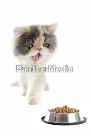 persian kitten and cat food