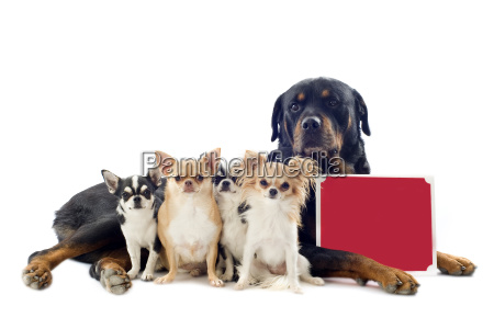 rottweiler and chihuahuas