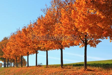 tree trees maple a row of