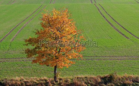 tree ahorn nature landscape autumn leaves