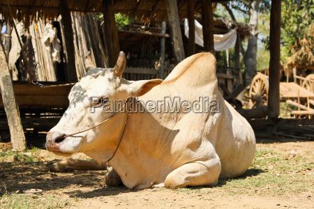 cow ox in rural village