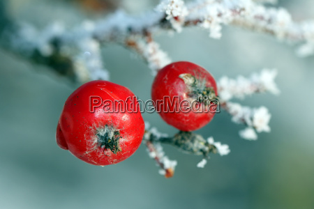 red rowan tree berries covered with