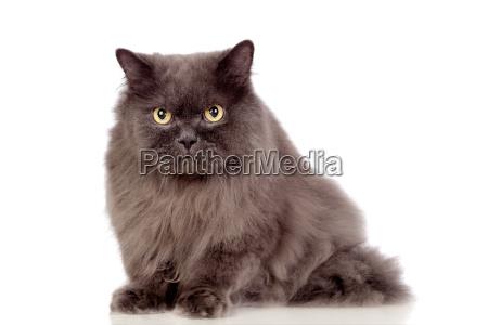 adorable persian cat