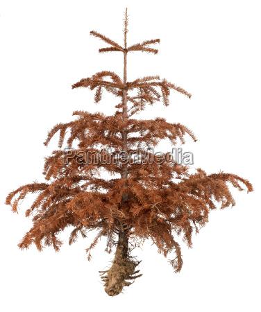 dried pine