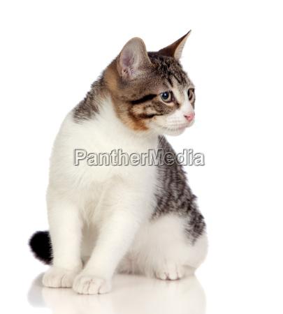 beautiful gray and white cat