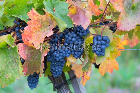 ripe grapes in nature