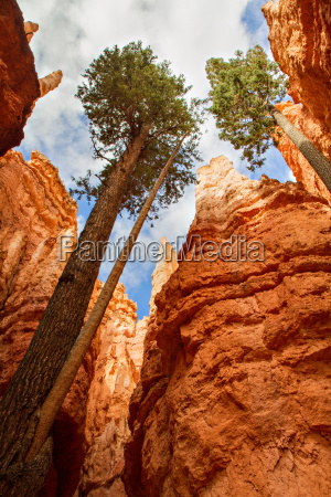 pine trees at bryce canyon