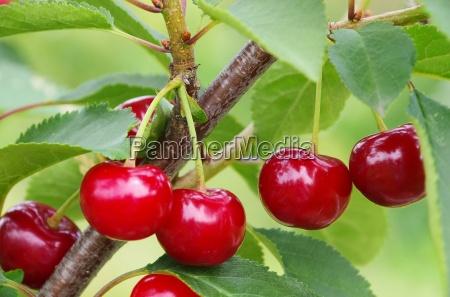 sour cherry sour cherry 10