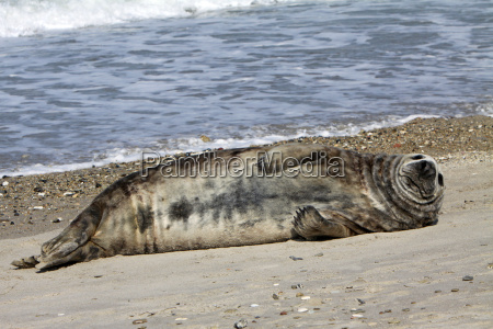 cone seal on helgoland