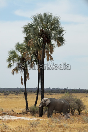 elephant at the twee palms etosha