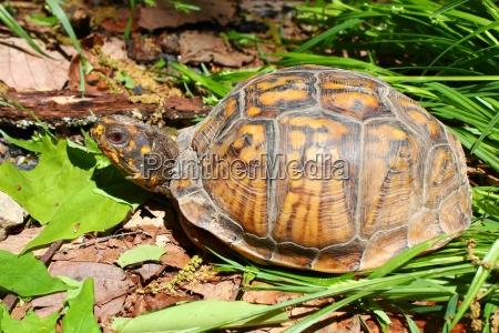 box turtle eastern box turtle turtle