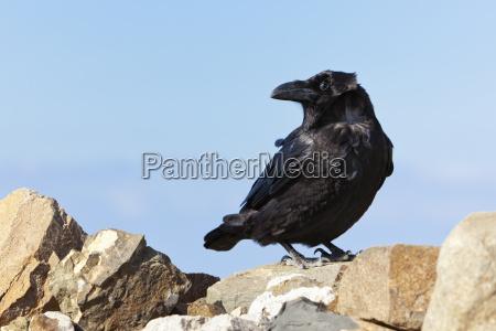 stone animal bird summit black swarthy