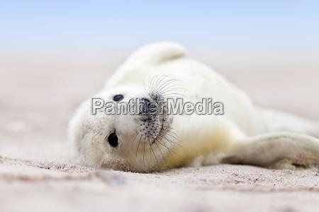little newborn baby seals