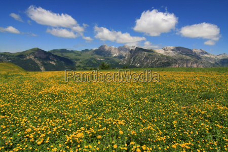 mountains dolomites alps flower flowers plant