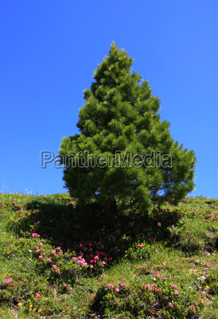 tree mountains plant pine flower flowers