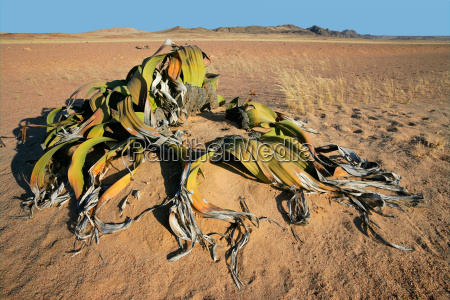 welwitschia namib desert