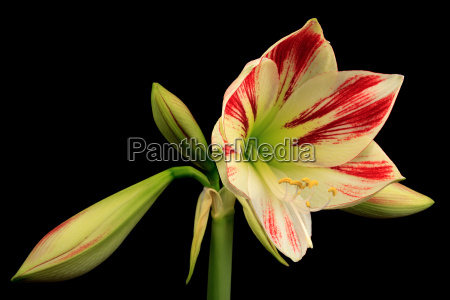 knights star amaryllis hippeastrum exempted from