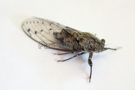 insect cricket cicada chirp singzikade cicadidae