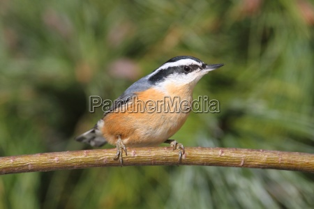 red breasted nuthatch on a perch