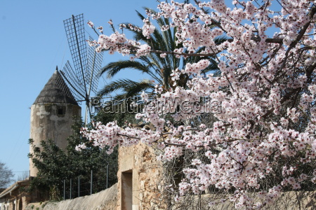 almond blossom on malle