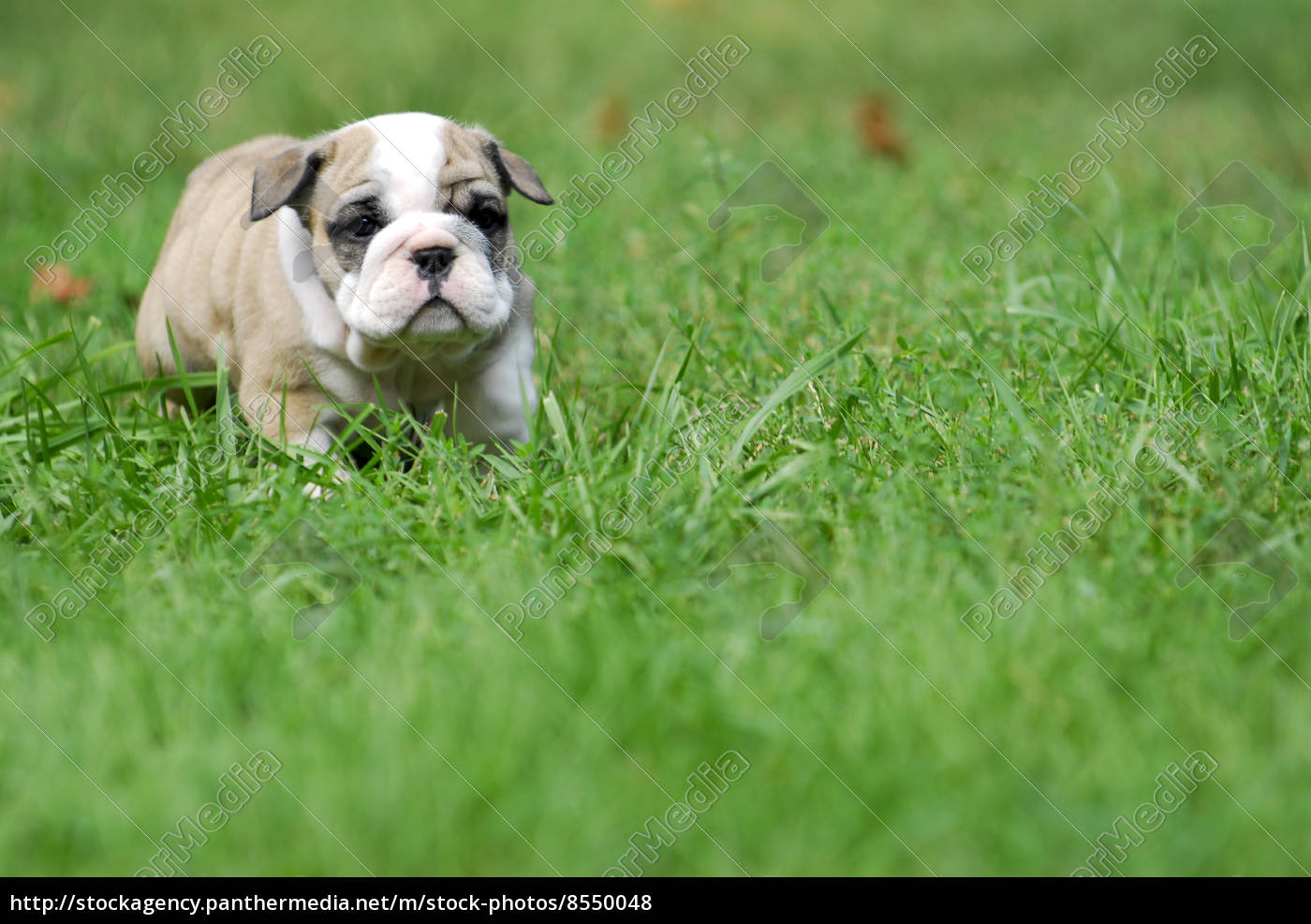 Cute Puppy In The Grass Royalty Free Photo 8550048