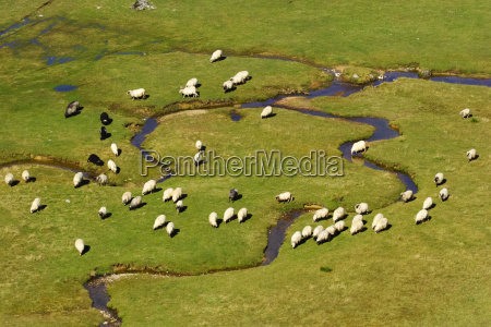 a group of sheep on a