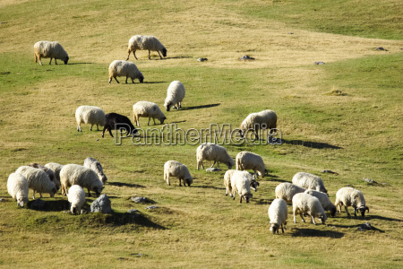 flock of sheep grazing at dusk