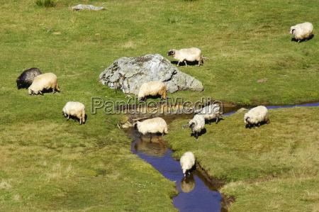 sheep on a mountain river