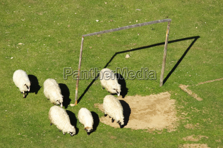 sheep and soccer goal