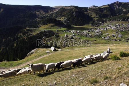 the shepherd leads the sheep to