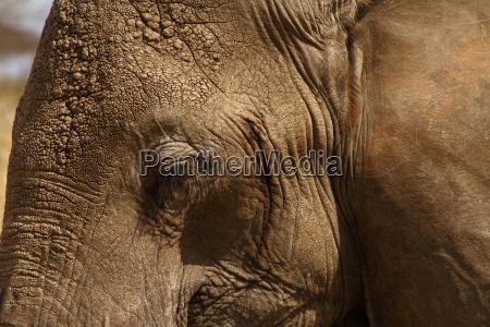 elephant head close up