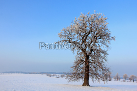 tree trees winter oak winter landscape