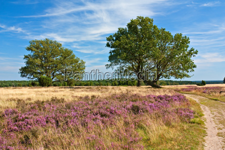 lueneburg heath heath landscape with oak