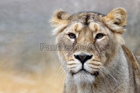the, lioness, -, panthera, leo - 8722646