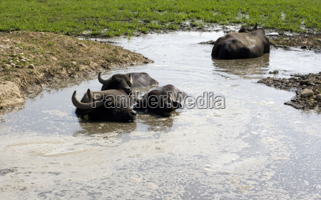 buffaloes in a muddy water