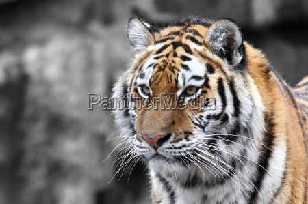 panthera tigris the tiger