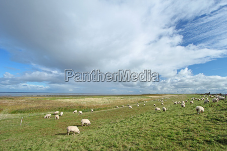 sheep on a dike at the
