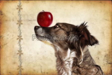 dog balancing an apple on the