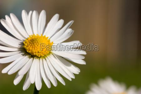 daisy blossom macro on brown