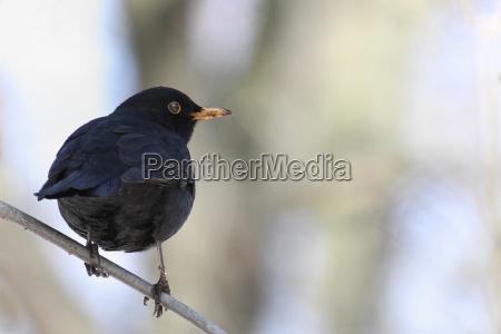 turdus merula the blackbird