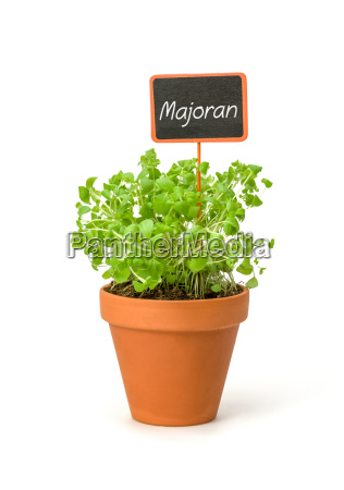 marjoram in clay pot with plant