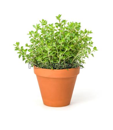 oregano in clay pot